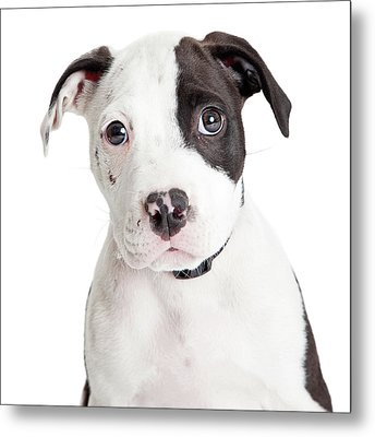Closeup Cute Pit Bull Puppy Metal Print by Susan Schmitz