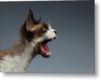 Closeup Devon Rex Hisses In Profile View On Gray  Metal Print by Sergey Taran