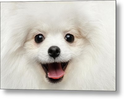 Closeup Furry Happiness White Pomeranian Spitz Dog Curious Smiling Metal Print