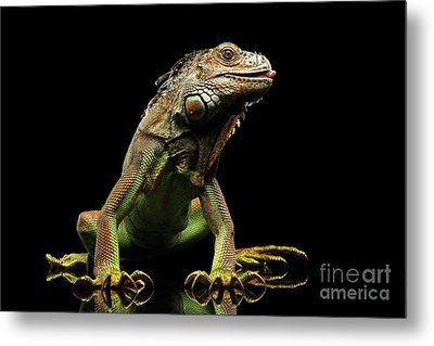 Closeup Green Iguana Isolated On Black Background Metal Print by Sergey Taran