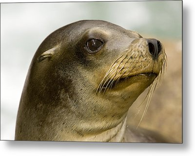Closeup Of A California Sea Lion Metal Print by Tim Laman