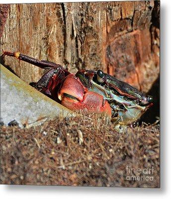 Metal Print featuring the photograph Closeup Of A Peeking Crab by Susan Wiedmann
