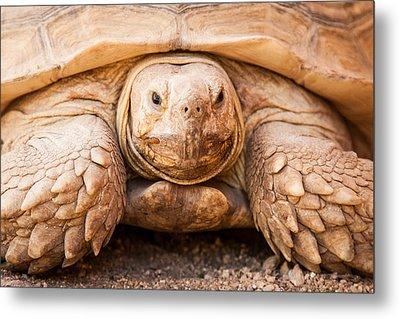 Closeup Of Large Galapagos Tortoise Metal Print by Susan Schmitz