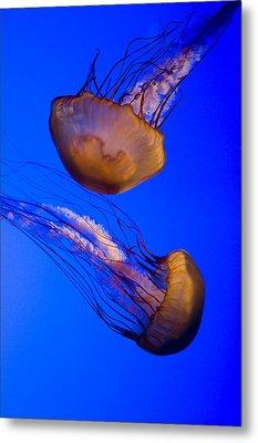 Closeup Of Two Captive Jellies Metal Print by Tim Laman
