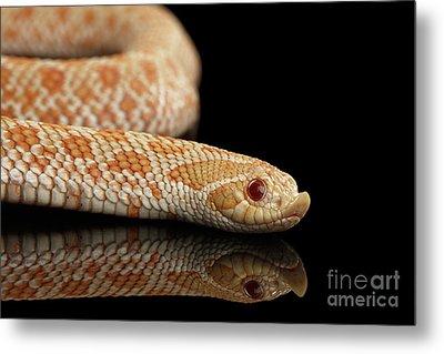 Closeup Pink Pastel Albino Western Hognose Snake, Heterodon Nasicus Isolated On Black Background Metal Print