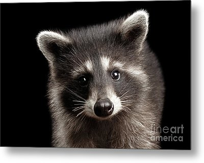 Closeup Portrait Cute Baby Raccoon Isolated On Black Background Metal Print
