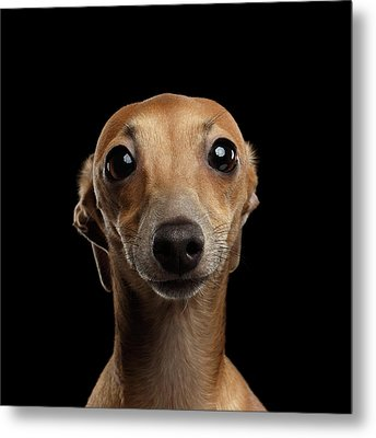 Closeup Portrait Italian Greyhound Dog Looking In Camera Isolated Black Metal Print