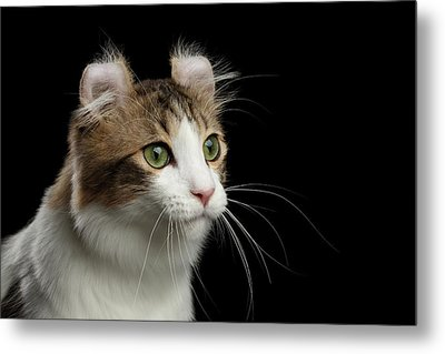 Closeup Portrait Of American Curl Cat On Black Isolated Background Metal Print by Sergey Taran