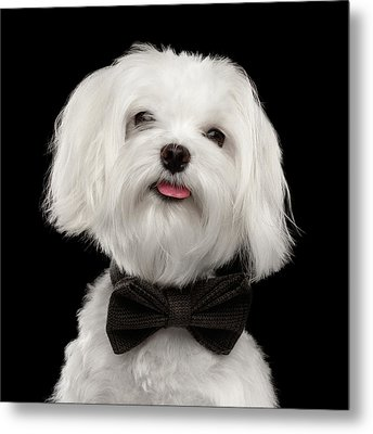 Closeup Portrait Of Happy White Maltese Dog With Bow Looking In Camera Isolated On Black Background Metal Print