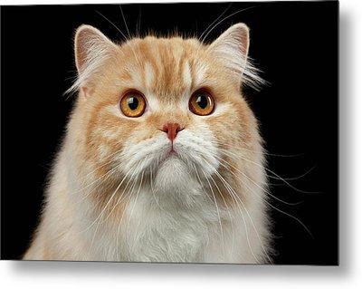 Closeup Portrait Of Red Big Persian Cat Angry Looking On Black Metal Print by Sergey Taran