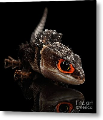 Closeup Red-eyed Crocodile Skink, Tribolonotus Gracilis Metal Print