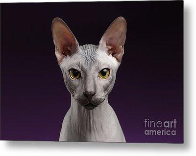 Closeup Sphynx Cat Looking In Camera On Purple Metal Print by Sergey Taran