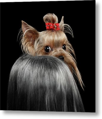Closeup Yorkshire Terrier Dog, Long Groomed Hair Pity Looking Back Metal Print