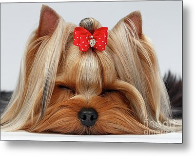 Closeup Yorkshire Terrier Dog With Closed Eyes Lying On White  Metal Print