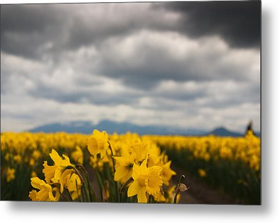 Cloudy With A Chance Of Daffodils Metal Print by Erin Kohlenberg