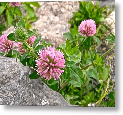 Clover On The Rocks Metal Print by Stephanie Moore