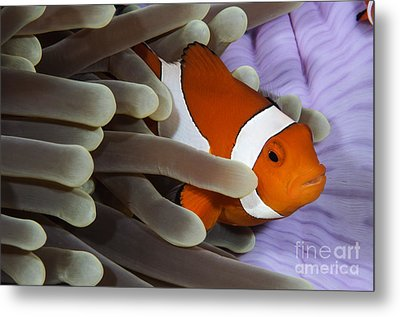 Clown Anemonefish, Indonesia Metal Print by Todd Winner