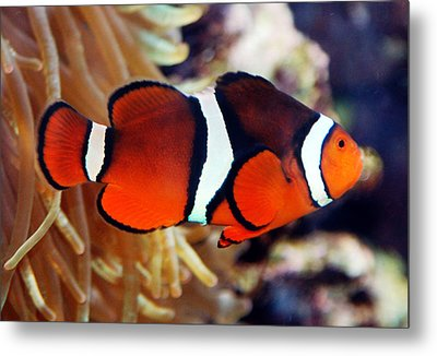 Metal Print featuring the photograph Clownfish by Kathleen Stephens