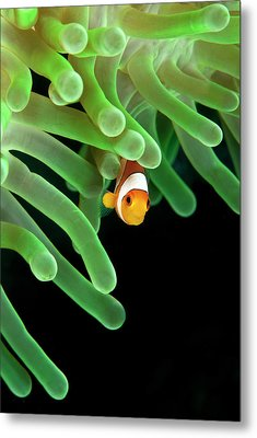 Clownfish On Green Anemone Metal Print by Alastair Pollock Photography