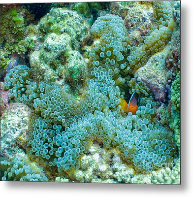 Clownfish Peek-a-boo Metal Print