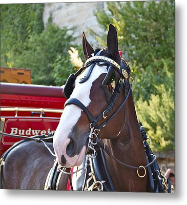Clydesdale At Esp Metal Print by Alice Gipson