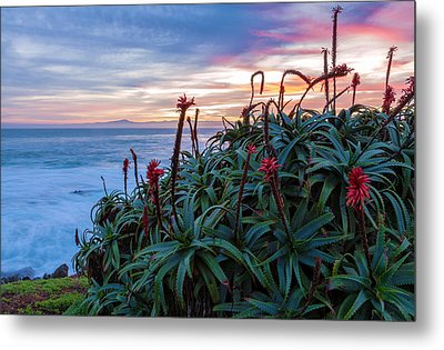 Coastal Aloes Metal Print