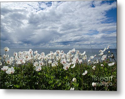 Coastal Backlit Anemones Metal Print