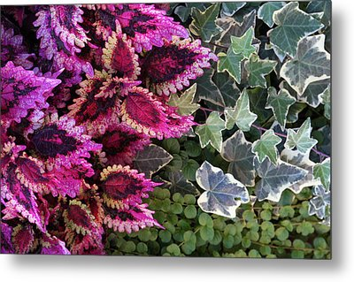 Metal Print featuring the mixed media Coleus And Ivy- Photo By Linda Woods by Linda Woods
