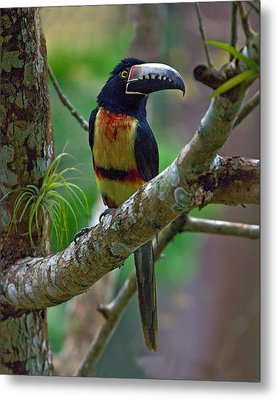Collared Aracari  Metal Print