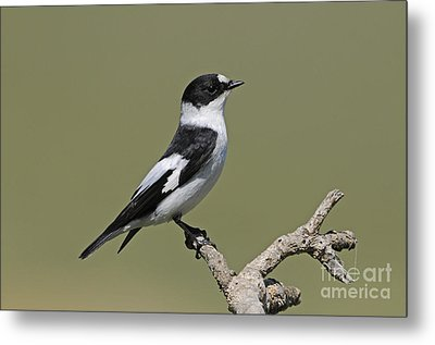 Collared Flycatcher Metal Print by Richard Brooks/FLPA