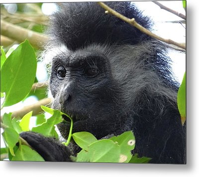 Colobus Monkey Eating Leaves In A Tree Close Up Metal Print