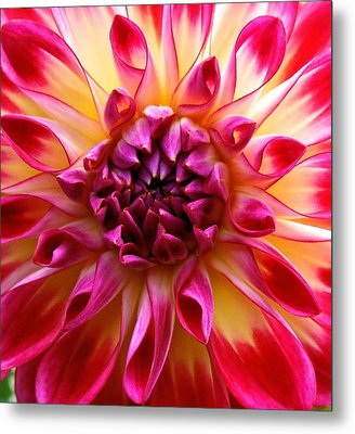 Color Burst Dahlia  Metal Print