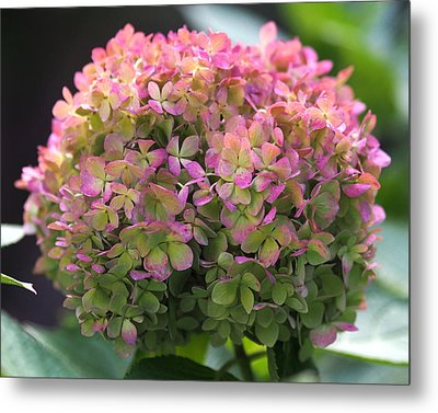 Color-changing Little Lime Hydrangea Metal Print by Rona Black