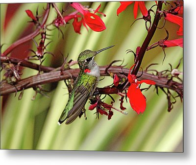 Color Coordinated Hummer Metal Print by Debbie Oppermann