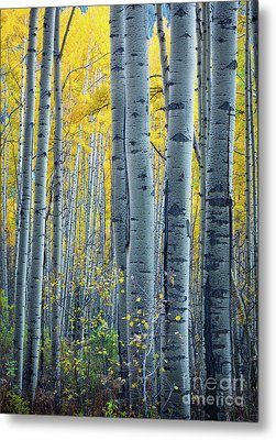 Colorado Aspens Metal Print by Inge Johnsson