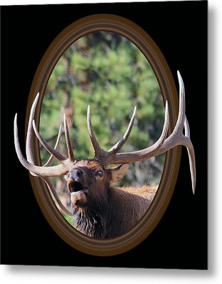 Metal Print featuring the photograph Colorado Bull Elk by Shane Bechler