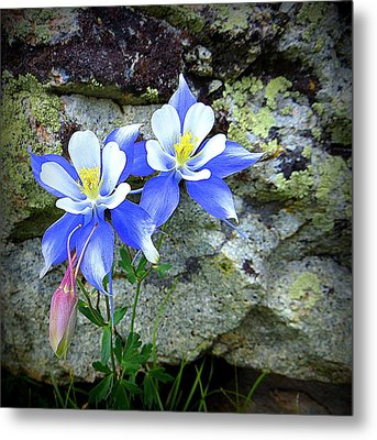 Colorado Columbines Metal Print