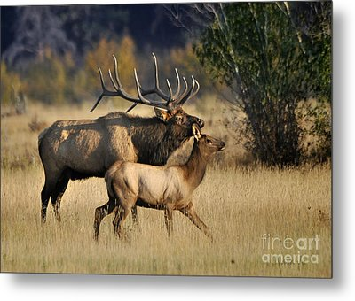 Colorado Elk  Metal Print