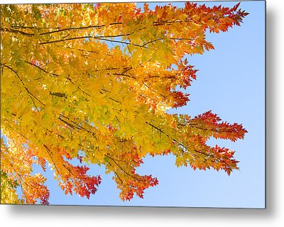 Colorful Autumn Reaching Out Metal Print by James BO  Insogna