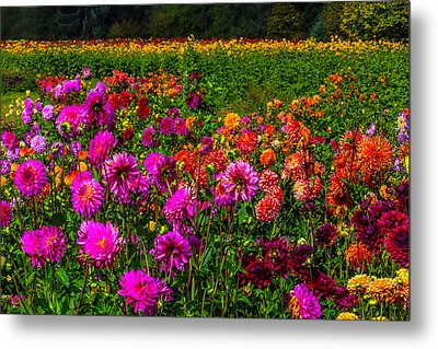 Colorful Dahlias Oregon Metal Print