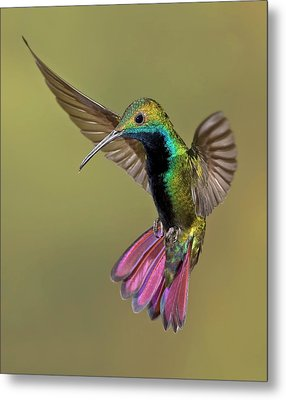 Colorful Humming Bird Metal Print by Image by David G Hemmings
