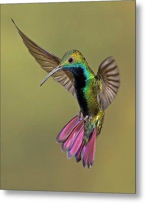 Colorful Humming Bird Metal Print by Image by David G Hemmings