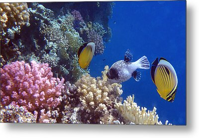 Colorful Red Sea Fish And Corals Metal Print