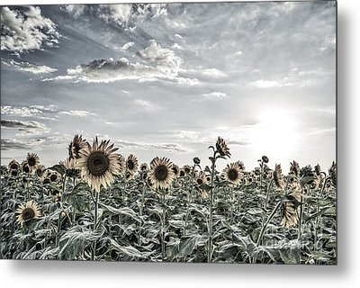 Colorized Sunflowers Fields Metal Print by Tod and Cynthia Grubbs