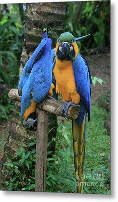 Colourful Macaw Pohakumoa Maui Hawaii Metal Print by Sharon Mau