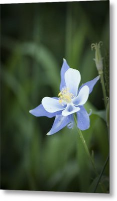 Metal Print featuring the photograph Columbine by Daniel Hebard
