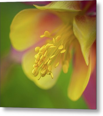 Metal Print featuring the photograph Columbine by Greg Nyquist
