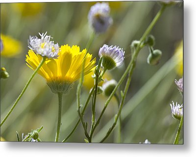 Coming Up Daisies Metal Print