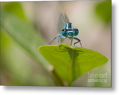 Common Blue Damselfly Metal Print by Jivko Nakev