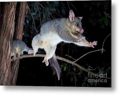 Common Brushtail Possum Metal Print